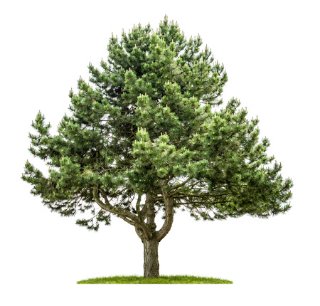 Old pine tree on a white background photo