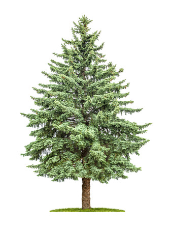 pine green: A pine tree on a white background Stock Photo