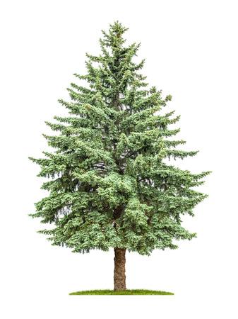 Een denneboom op een witte achtergrond
