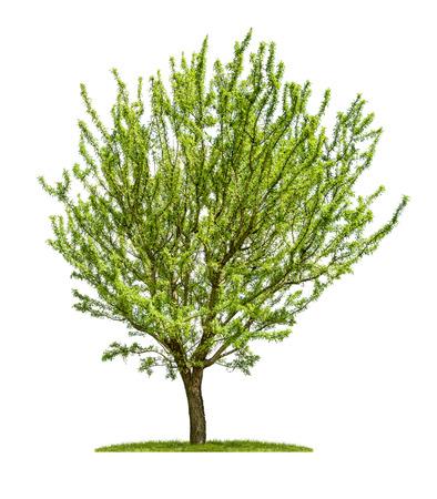 白い背景に分離のアーモンドの木