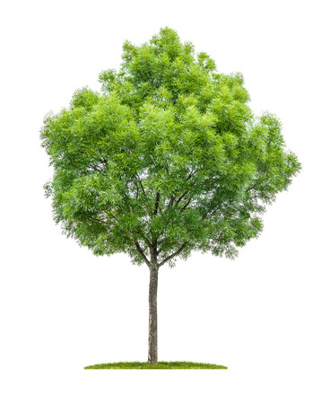 ash tree: Isolated narrow-leafed ash tree on a white background Stock Photo