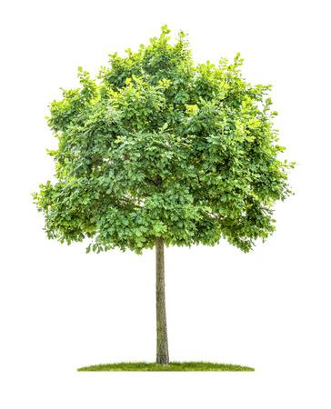 Een geïsoleerde eiken boom op een witte achtergrond