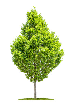 An isolated hornbeam tree on a white background