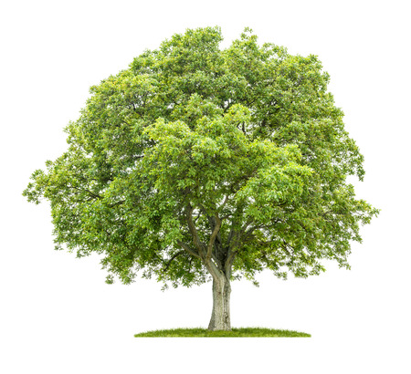 vida natural: Viejo árbol de nuez en un fondo blanco Foto de archivo
