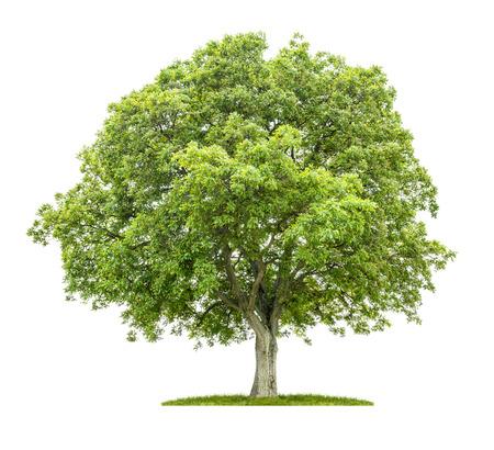 feuille arbre: Vieux noyer sur un fond blanc Banque d'images