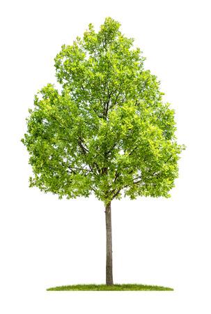 Oak tree on a white background Standard-Bild
