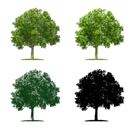 plane tree: Tree in four different illustration techniques - Plane Tree