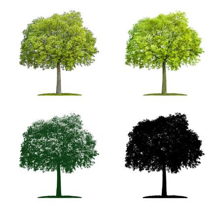 Tree in four different illustration techniques - Celtis australis