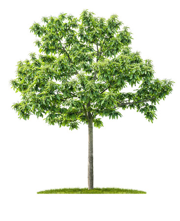 An isolated chestnut tree on a white background