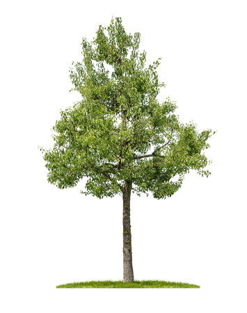 An isolated pear tree on a white background Stock Photo