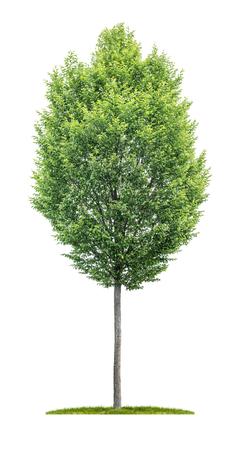 Pojedyncze drzewo na białym tle - Carpinus betulus - Grab
