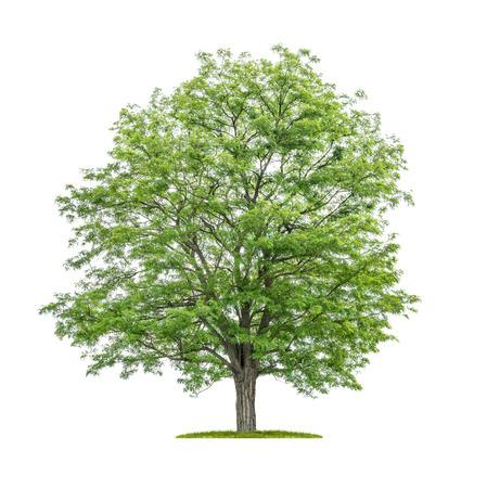 Isolated tree on a white background - Robinia pseudoacacia- False acacia Reklamní fotografie
