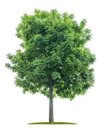Albero isolato su sfondo bianco - Acer negundo - Frassino d'acero Archivio Fotografico
