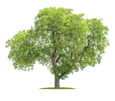 Árbol aislado sobre un fondo blanco - Juglans regia - Nogal Foto de archivo