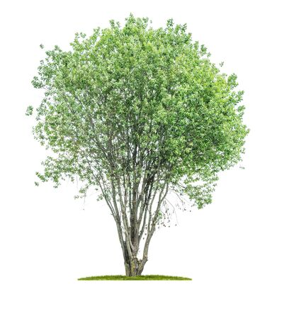 Isolated tree on a white background - Broad-leaved tree