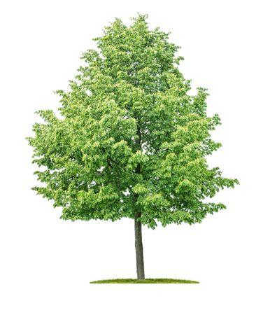 Pojedyncze drzewo na białym tle - Tilia cordata - Lipa drobnolistna