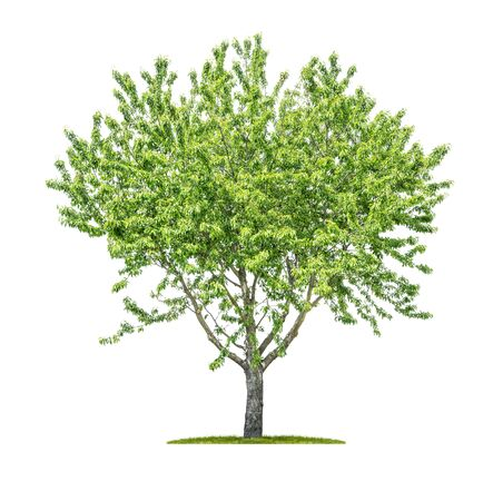 Árbol aislado sobre un fondo blanco - Sorbus aucuparia - Mountain-ash