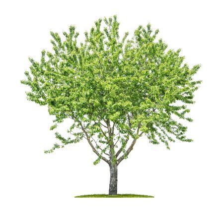 Albero isolato su uno sfondo bianco - Sorbus aucuparia - Mountain-ash