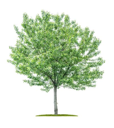 Isolated tree on a white background - Sorbus aucuparia - Mountain Ash