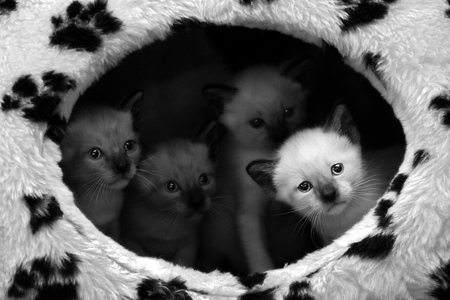 Four little siamese kitten standing together in their home.