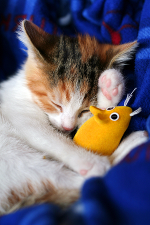calico whiskers: Calico kits from sleeping with her yellow toy mouse.