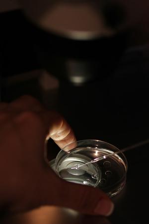 A petri dish in a laboratory artificial insemination. Stock Photo