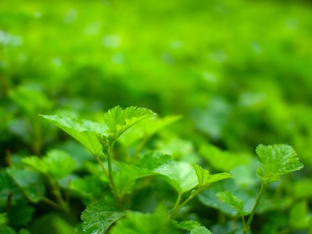 Green leaves just after the rain - shallow DOF photo
