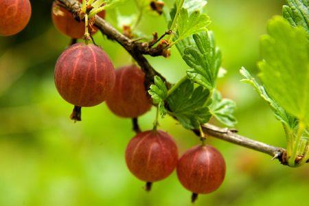 grosella: Gooseberry