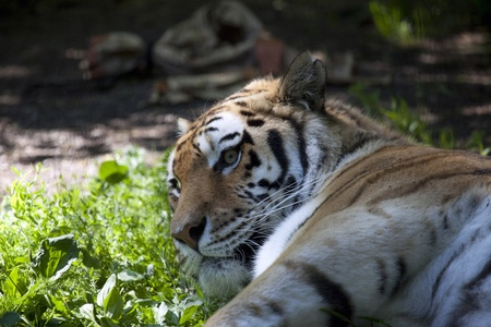 the amur: Amur tigers profile with grass
