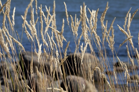 bulrushes: The bulrushes against blue water in summer