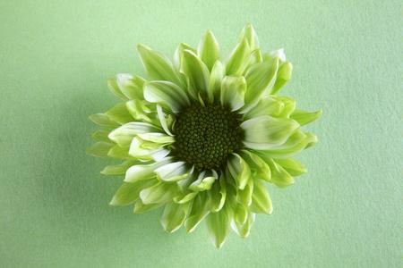 Chrysantemum flower over green background