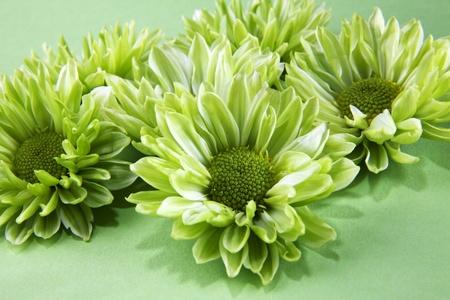 Chrysantemum flowers over green background
