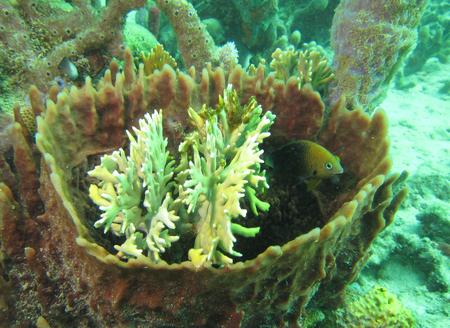corail plongée corail caraibes