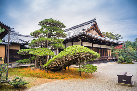 Kyoto, Japan - November 22, 2018: A pine tree which is more than 600 years old situated next to the Kinkaku-ji temple.