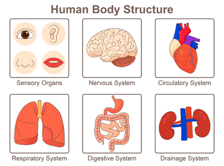 Human body structure