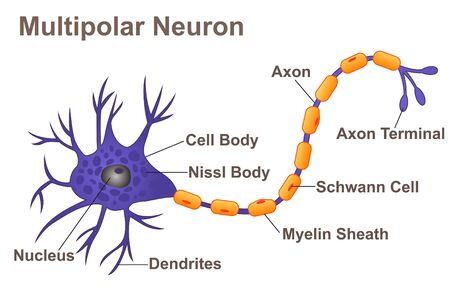 Multipolar Neuron 일러스트