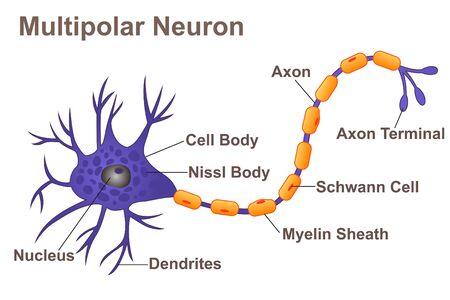 Multipolar Neuron Illustration