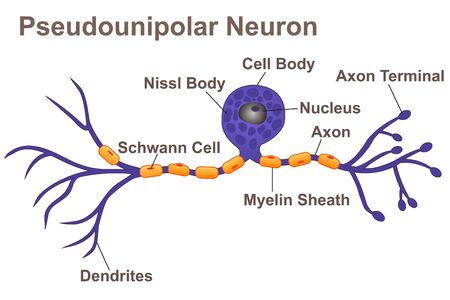 Pseudounipolar Neuron 스톡 콘텐츠 - 127327785