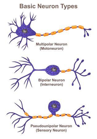 Types de neurones de base Vecteurs