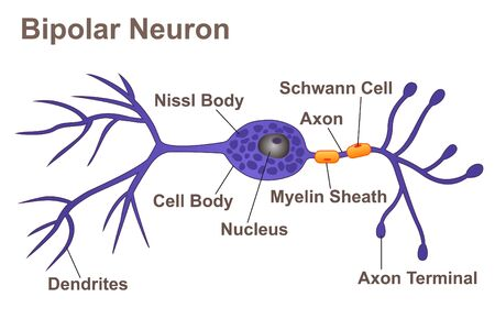 Bipolar Neuron Illustration