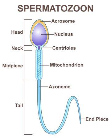 Spermatozoon concept