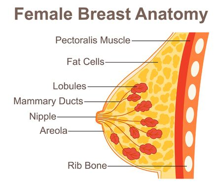 Female Breast Anatomy