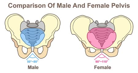 Comparison Of Male And Female Pelvis