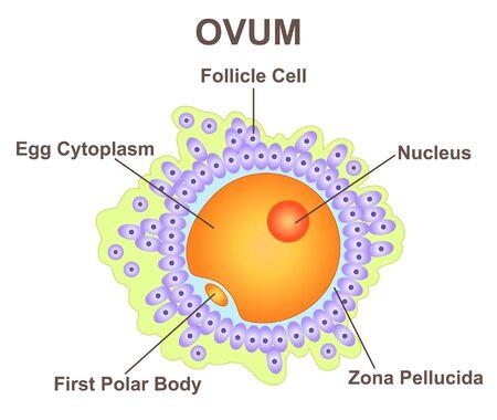 Ovum concept