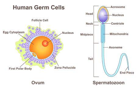Human Germ Cells