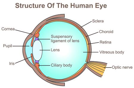 Structure Of The Human Eye 일러스트