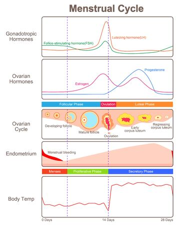 The process of ovulation and menstruation in women 일러스트