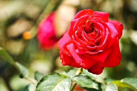 Red Rose garden at Chiangmai Thailand