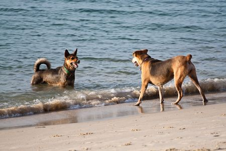 The Competitor Confront Beach Dogs, Samui Thailand