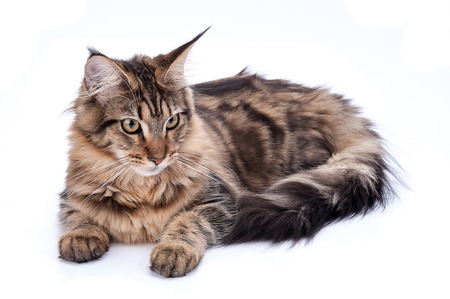 intrigued: Maine coon cat, sitting and facing, isolated on white Stock Photo
